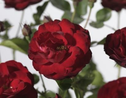 Rosa 'Lilli Marleen' - Tros-heesterroos