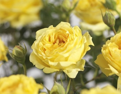 Rosa 'Marselisborg' - tros-heesterroos