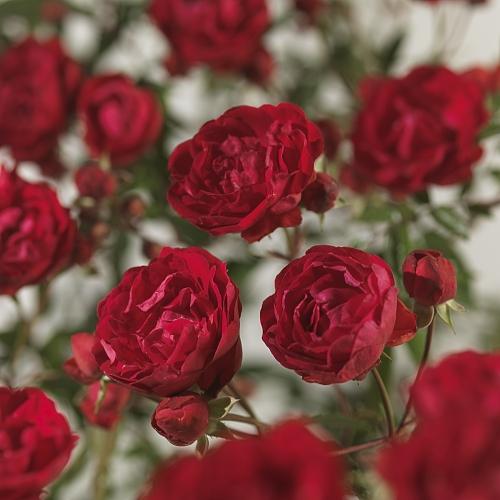 Rosa 'Morsdag' - kosterroos