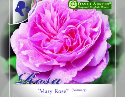 Rosa 'Mary Rose' - David Austin roos