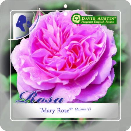 Rosa 'Mary Rose' - David Austin roos