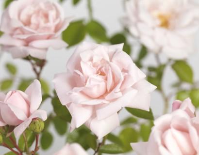 Rosa 'New Dawn' klim - klimroos