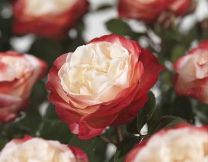Rosa 'Nostalgie' stam - stamroos