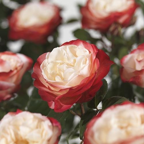 Rosa 'Nostalgie' - grootbloemige roos