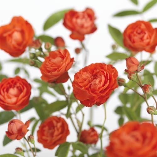 Rosa 'Orange Morsdag' - kosterroos