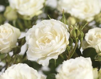 Rosa 'Princess of Wales' - tros-heesterroos