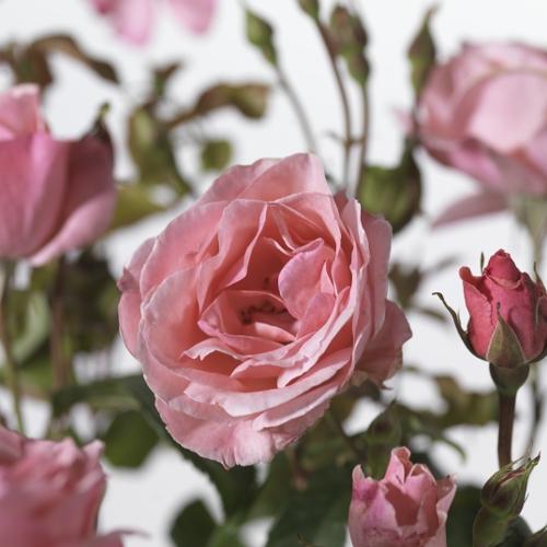 Rosa 'Queen Elisabeth' - tros-heesterroos