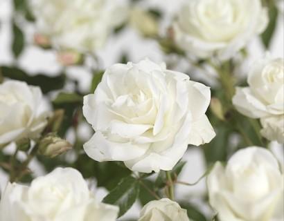 Rosa 'Schneewittchen' stamroos in pot - stamroos