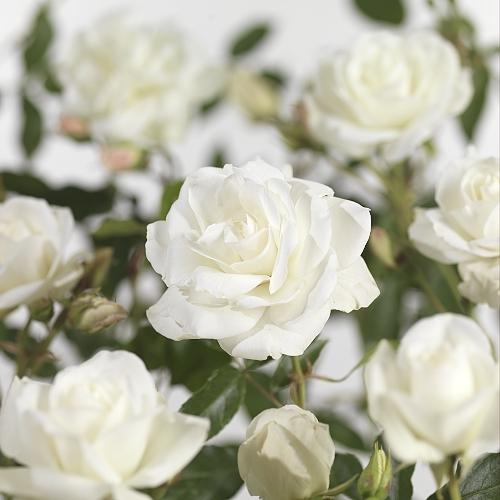 Rosa 'Schneewittchen' stam - stamroos