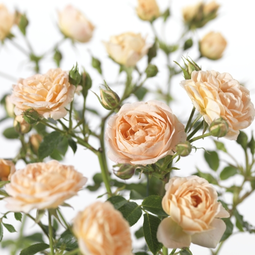 Rosa 'Sweet Dream' - tros-heesterroos
