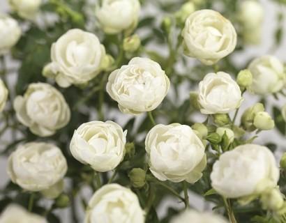 Rosa 'Snövit' of 'White Morsdag' - kosterroos