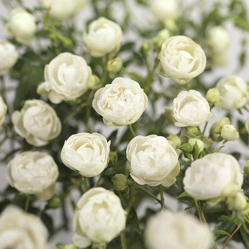 Rosa 'Snövit' (witte kosterroos).