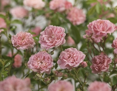 Rosa 'The Fairy' stam - stamroos