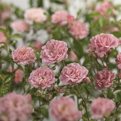 Rosa 'The Fairy' - bodembedekkende roos