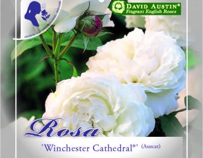 Rosa 'Winchester Cathedral' - David Austin roos