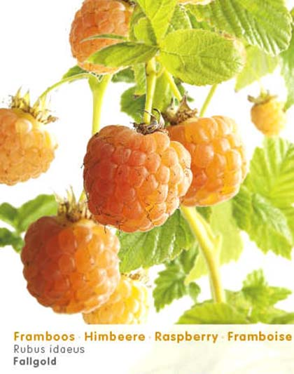 Rubus idaeus 'Fallgold' - gele herfstframboos