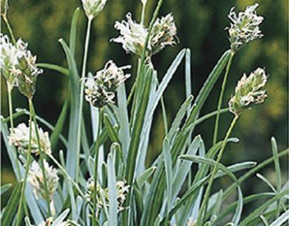 Sesleria caerulea - blauwgras
