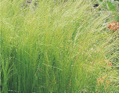 Stipa tenuifolia pot 2 liter - vedergras