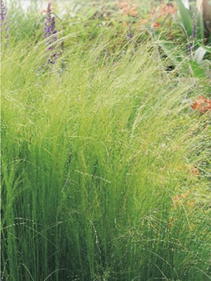 Stipa tenuifolia - vedergras