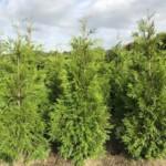 De beste coniferen planten voor een haag: Thuja plicata 'Martin'.