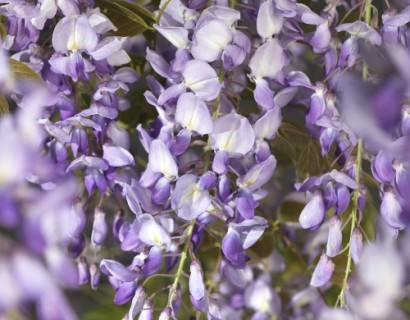 Wisteria 'Prolific' pot 10 liter 1.50 m
