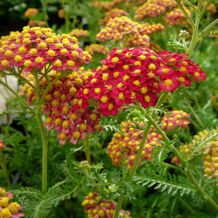 Achillea millefolium 'Paprika' - duizendblad
