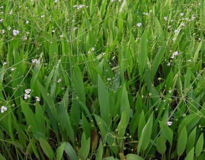 Alisma lanceolatum - smalbladige waterweegbree