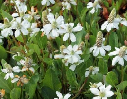 Anemopsis californica - anemoon