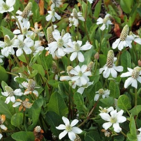 Anemopsis californica -