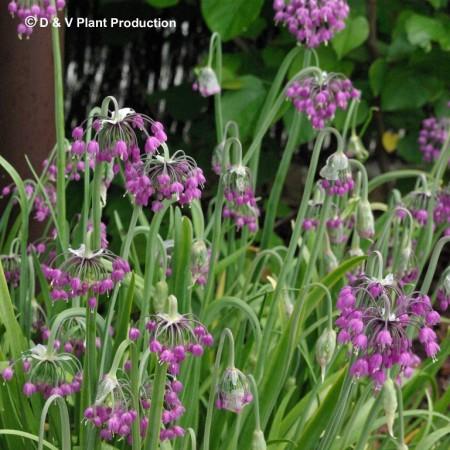 Allium cernuum - indianenbieslook