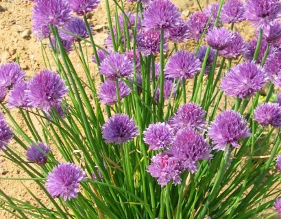 Allium schoenoprasum - knoflook