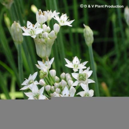 Allium tuberosum - Chinese bieslook