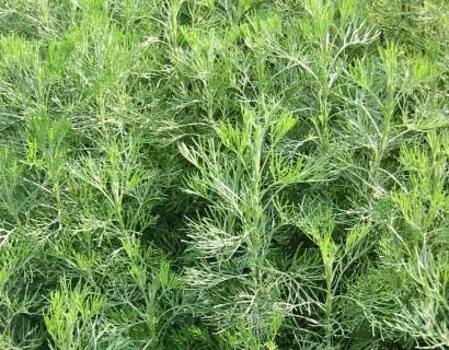 Artemisia abrotanum - citroenkruid