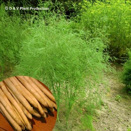 Asparagus officinalis 'Argenteuil' - witte asperge