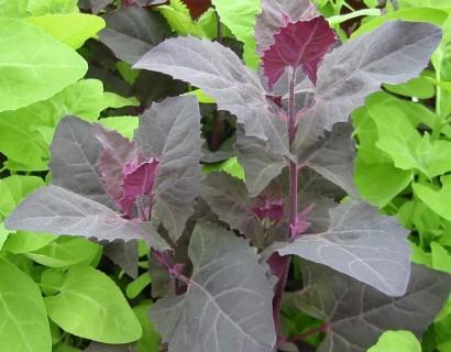 Atriplex hortensis - tuinmelde