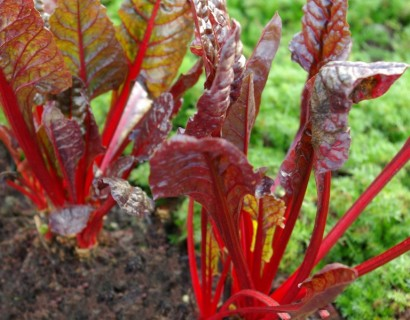 Beta vulgaris 'Rhubarb Chard' - warmoes