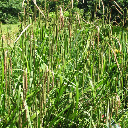 Carex pendula - hangende zegge