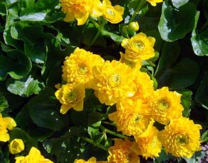 Caltha palustris 'Multiplex' - dubbele dotterbloem
