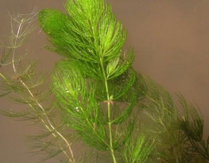 Ceratophyllum demersum - hoornblad