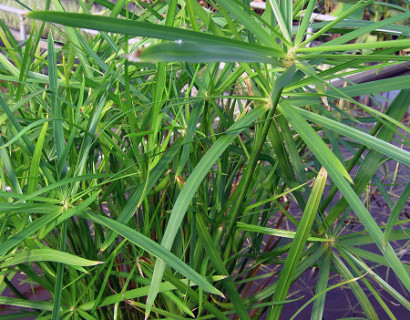 Cyperus alternifolius - papyrus plant
