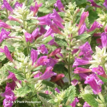 Calamintha grandiflora 'Variegata' - bonte steentijm