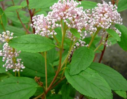 Ceanothus pallidus 'Marie Simon' - Amerikaanse sering