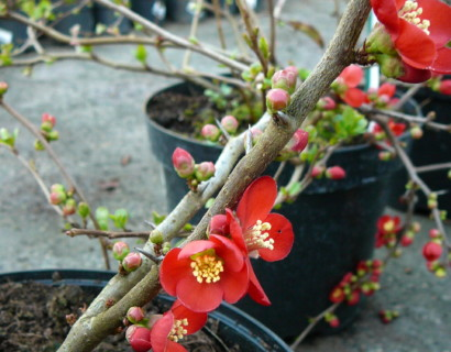 Chaenomeles superba 'Crimson and Gold'