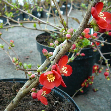 Chaenomeles superba 'Crimson and Gold' - Japanse kweepeer