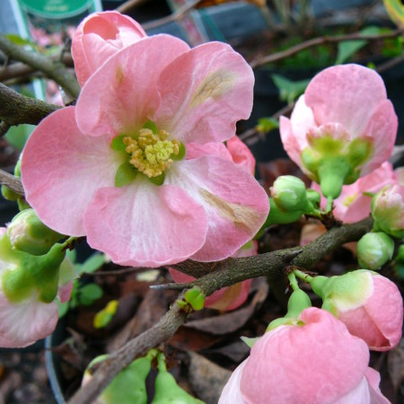 Chaenomeles superba 'Pink Lady' - Japanse kweepeer