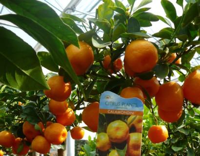 Citrus 'Calamondino' - calamondino, bittere kamer-sinaasappel