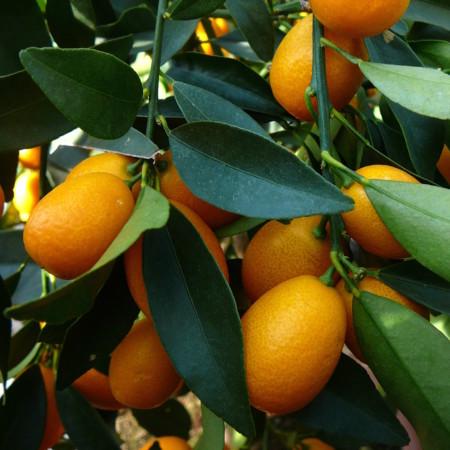 Citrus 'Kumquat' - kumquat