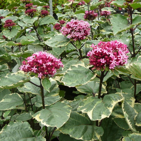 Clerodendron bungei 'Pink Diamond' - kansenboom