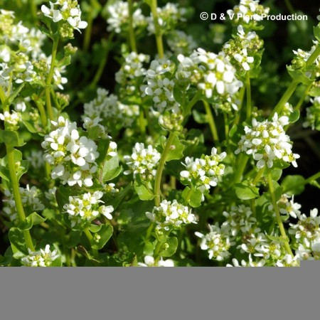 Cochlearia officinalis - lepelblad