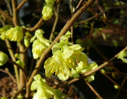 Corylopsis pauciflora - schijnhazelaar